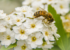 Pollinating honeybee harvesting the flowers of a tree Stock Photo
