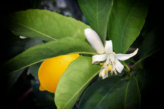 Pollinating a Lemon Tree Blossom Royalty Free Stock Images