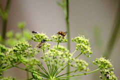 Pollinating parsley. Parsley flowers being pollinated by several insects inside of the greenhouse royalty free stock photo
