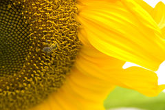 Bee on Sunflower Pollination Garden Flowers Royalty Free Stock Photography