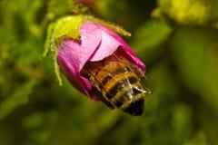 pollination Стоковая Фотография RF