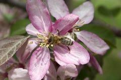 pollination Royaltyfri Foto