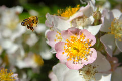 Pollination. Honey bee on blossom of wild rose Stock Photography