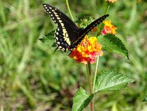 Black Swallowtail butterfly. Pollination in action by Black Swallowtail butterfly royalty free stock photography