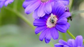 Pollination av Honey Bee arkivfilmer