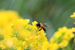 Pollination royalty free stock photo