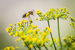 Pollination bee on dill flowers Stock Photography