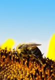 Pollination - Bee Feeding Royalty Free Stock Photography