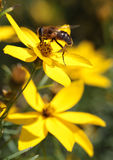Pollination bee on flower Stock Photos