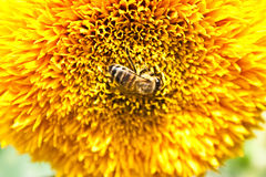 Pollination by bees big yellow flower Stock Photo