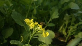 Pollination of brassica by Honeybee stock images