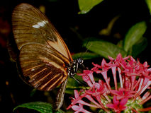Pollination. Brown butterfly pollinating a flower stock images
