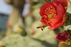 Pollination of a cactus red flower bee Royalty Free Stock Photos