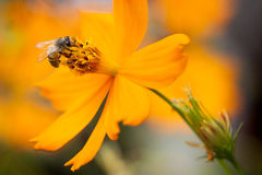 Pollination d'abeille Photos stock