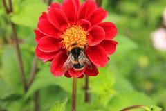 Pollination dahlia Stock Photo