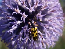 Pollination de coléoptère de Longhorn Photos libres de droits