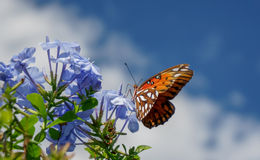 Pollination de papillon de monarque Image libre de droits