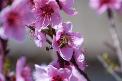 Pollination of flowers by bees peach. Royalty Free Stock Photography
