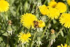 Yellow dandelion and bumblebee Stock Photos