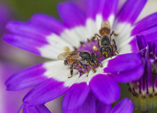 Pollination. Honey bee pollinating flower and collecting pollens Stock Photos