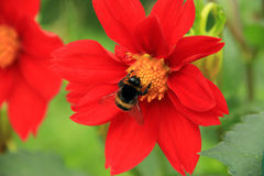 Pollination of red flower Stock Image