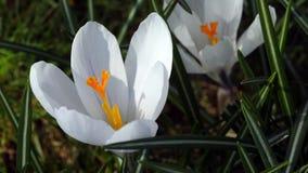 Pollination of white saffron stock video