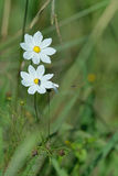 Pollination. Wild cosmos flowers with insects in nature Reserve Stock Photos