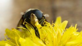 pollinator Zdjęcia Royalty Free