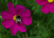 Pollinator. A bee collecting pollen from a garden flower Royalty Free Stock Photos