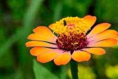 polline Fotografie Stock