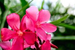 polline Immagini Stock