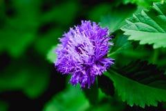 polline Fotografia Stock Libera da Diritti