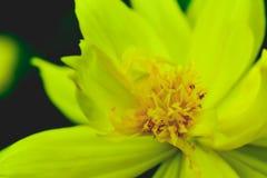 polline Immagine Stock