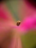 polline Fotografie Stock Libere da Diritti