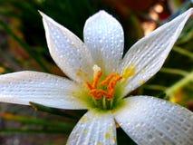 polline Fotografia Stock