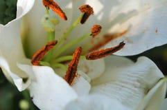 Polline arancione sugli stami di un giglio fotografia stock