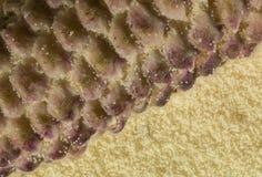 Polline dal pino immagine stock libera da diritti