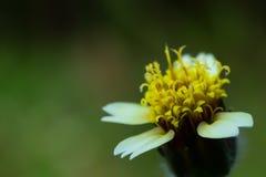 Polline dei fiori dell'erba fotografia stock libera da diritti