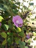 Polline del fiore dell'ape fotografia stock libera da diritti