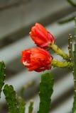 Polline del fiore, fiori del cactus Fotografie Stock Libere da Diritti