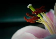 Polline del giglio Fotografia Stock Libera da Diritti