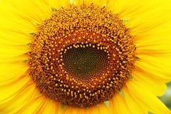 Polline del girasole Fotografie Stock
