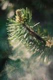 Polline del pino montano fotografia stock libera da diritti