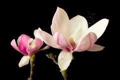 Polline della magnolia che causa raffreddore da fieno Fotografie Stock Libere da Diritti