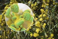 Polline della mimosa, vista del primo piano Fotografia Stock