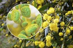 Polline della mimosa, vista del primo piano Immagini Stock