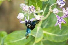 Polline della raccolta dell'insetto alato verde fotografia stock libera da diritti