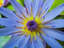 Polline di Lotus Immagine Stock