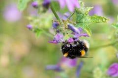 Polline di raccolta capovolto d'aderenza dell'ape immagine stock libera da diritti