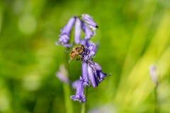 Polline mimico del nettare della raccolta dell'ape dalle campanule selvagge immagine stock libera da diritti